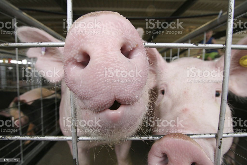 Big pig  nose royalty-free stock photo