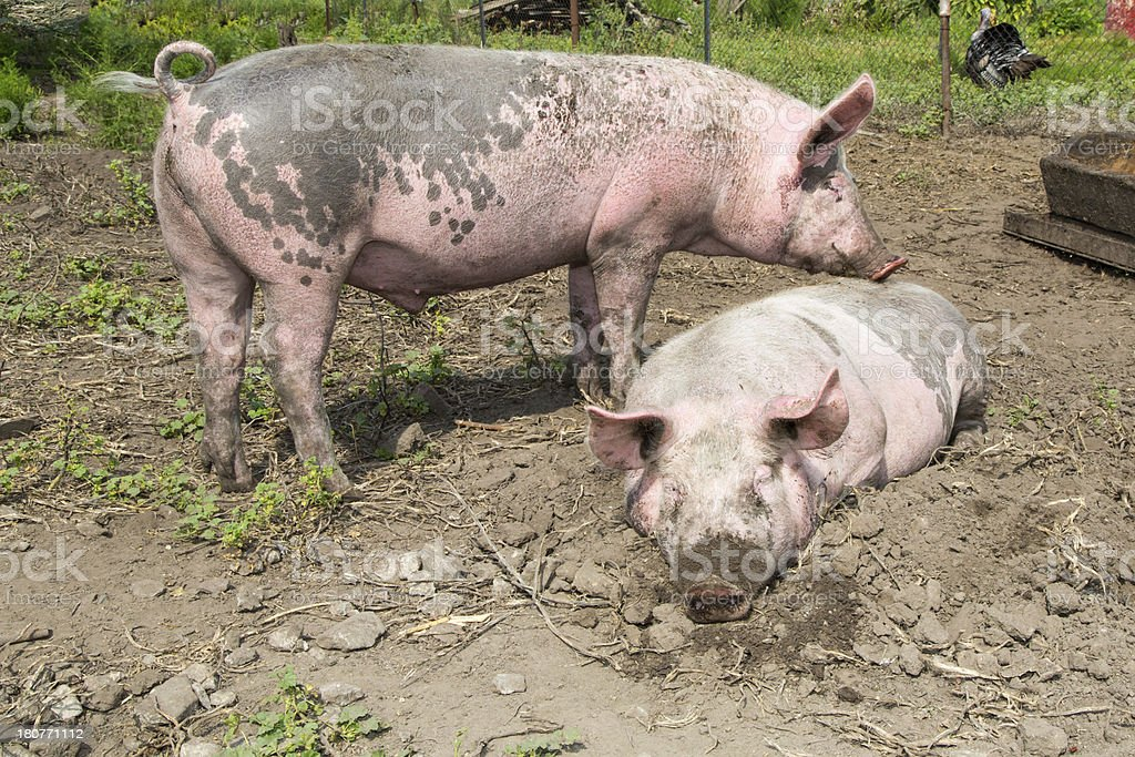 big pig on the farm royalty-free stock photo