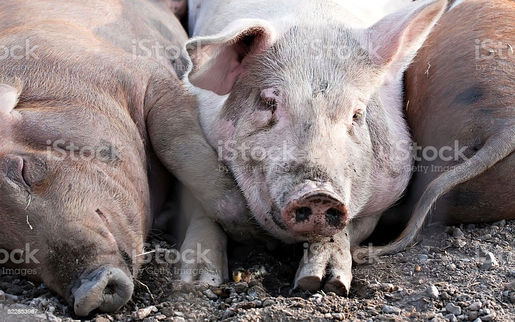 big pigs laying on the ground stock photo