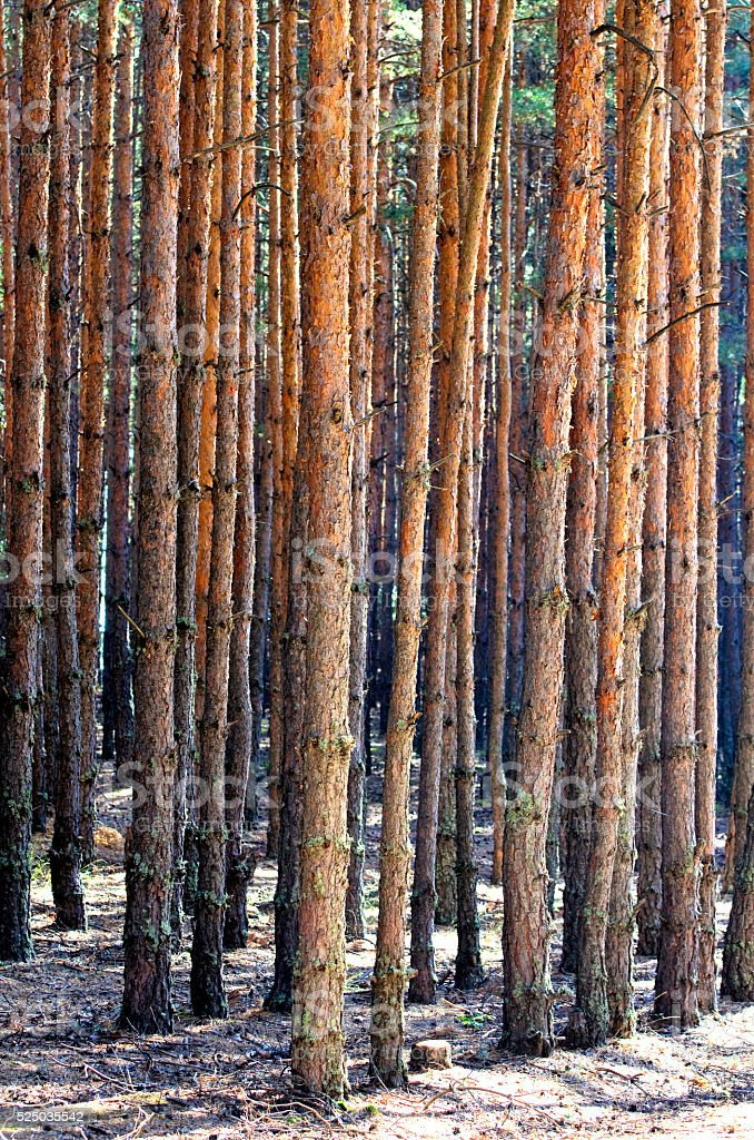 Big pine trees royalty-free stock photo