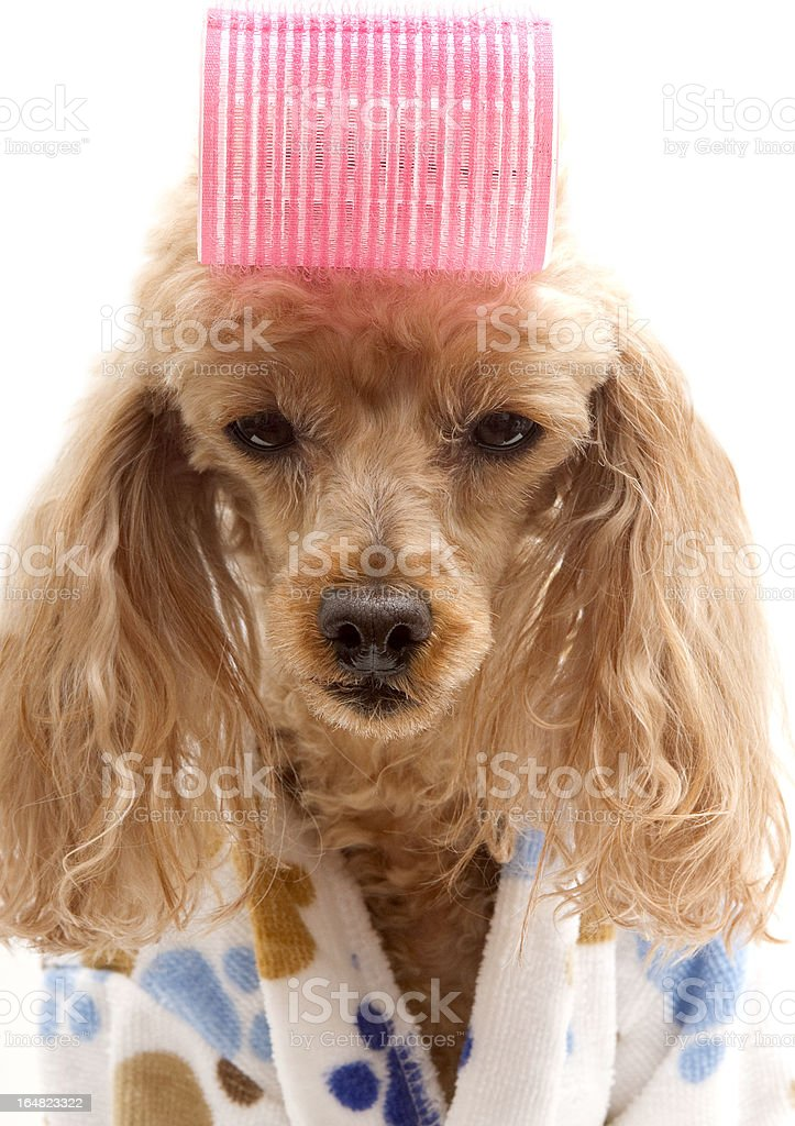 Big Pink Curler royalty-free stock photo