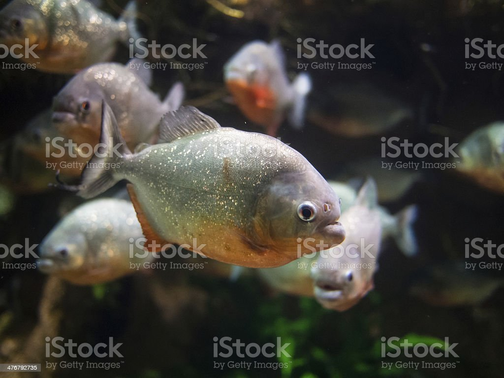 Big piranha closeup stock photo