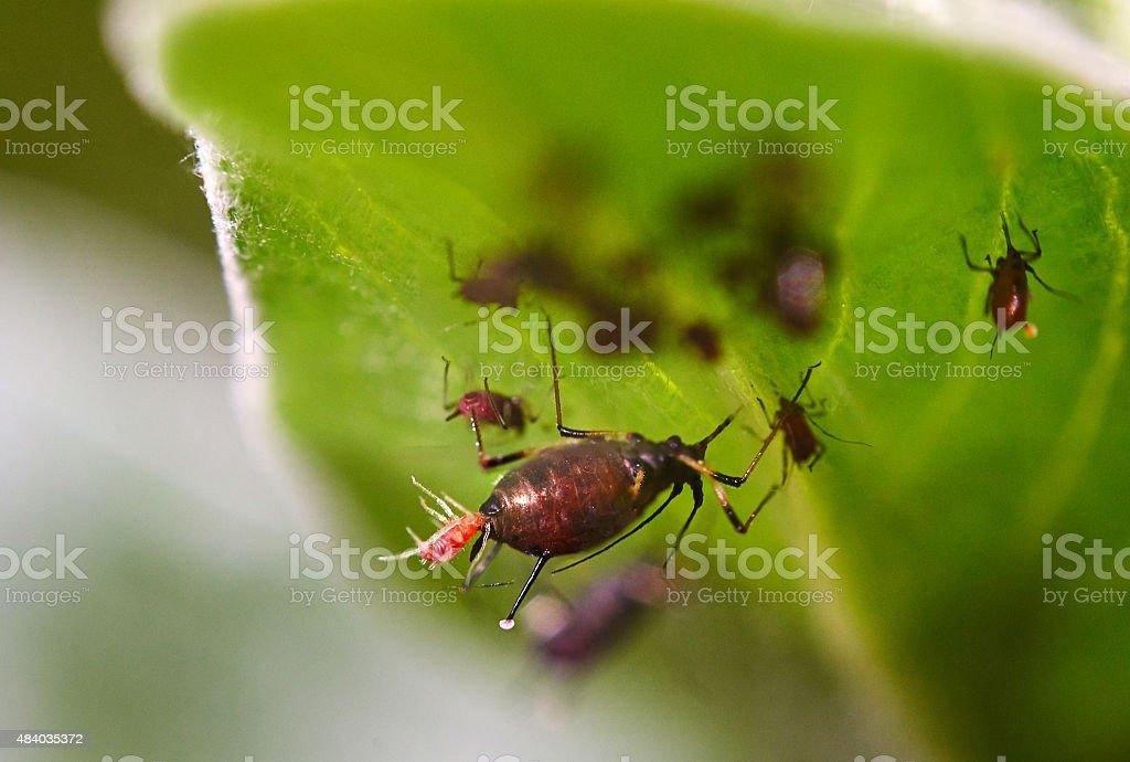 Big plant louse with procreation stock photo