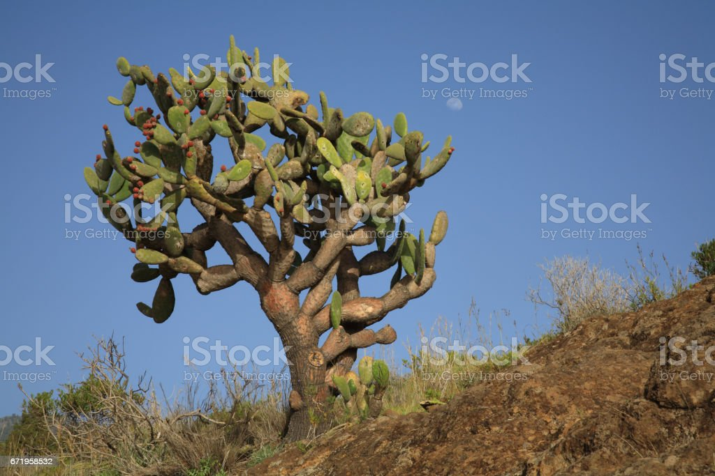 Big prickly pear stock photo