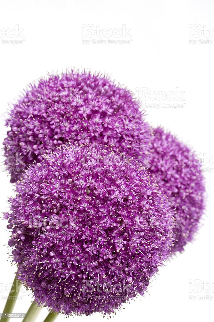 big purple flower royalty-free stock photo