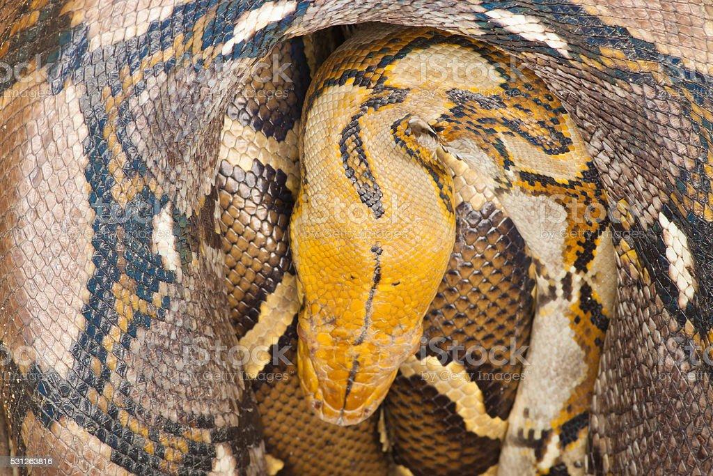 Big python sleeping royalty-free stock photo