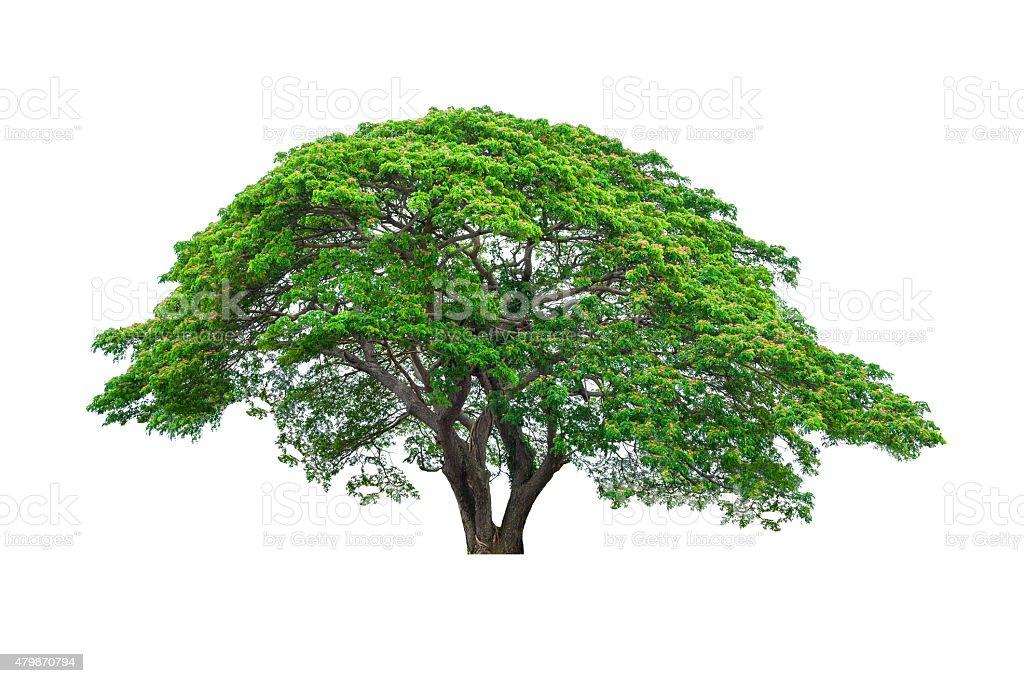 Big Rain tree on isolated stock photo