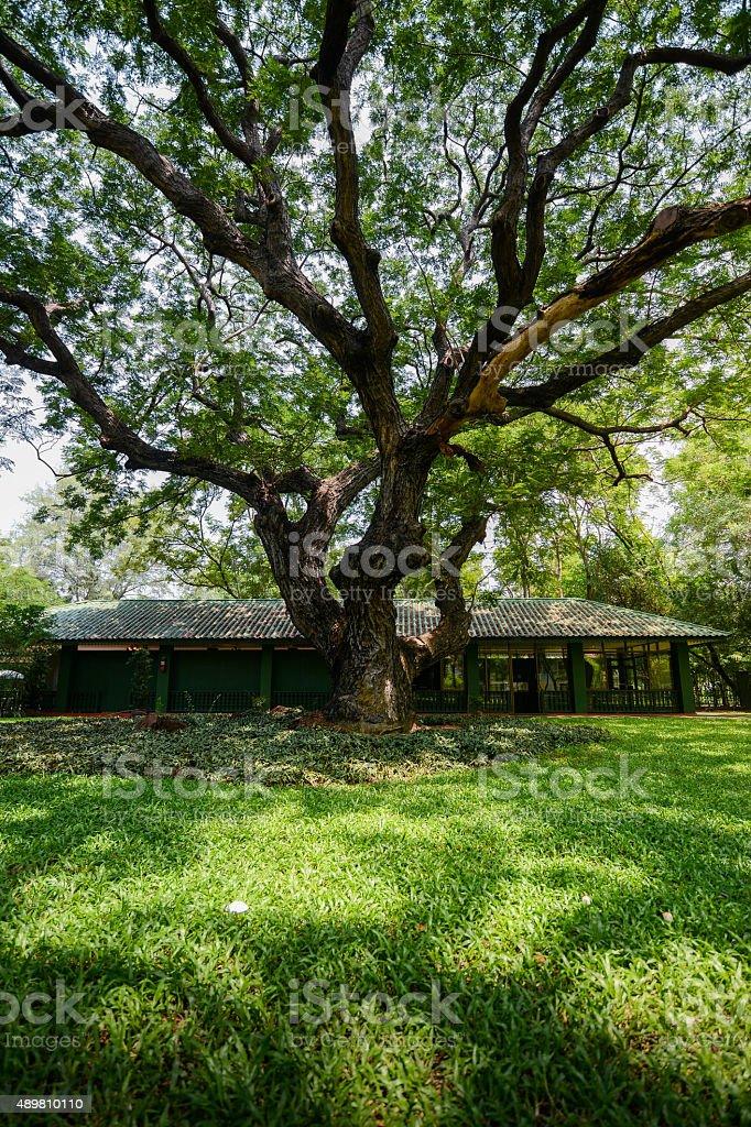 big Rain tree or monkey pod tree (Samanea Saman). stock photo