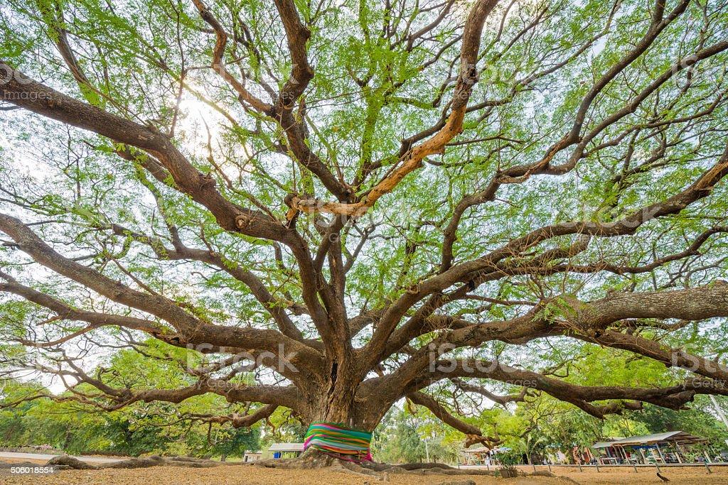 big Rain Tree stock photo