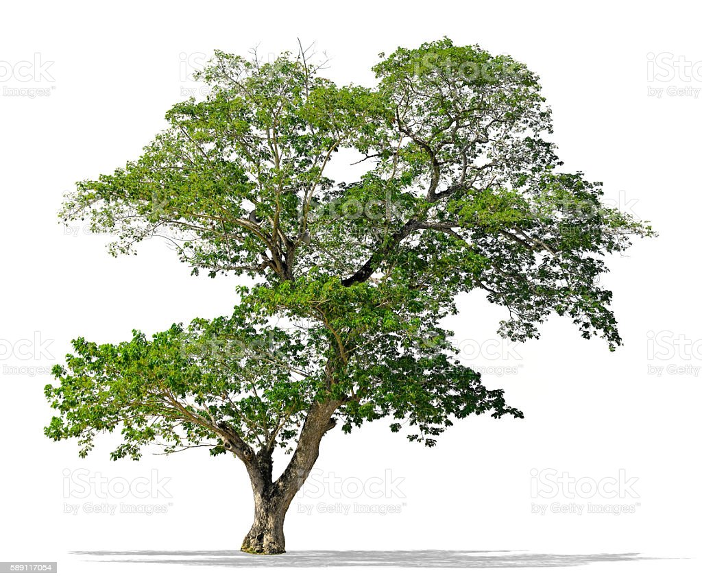 Big Rain tree whith loudspeaker isolated stock photo
