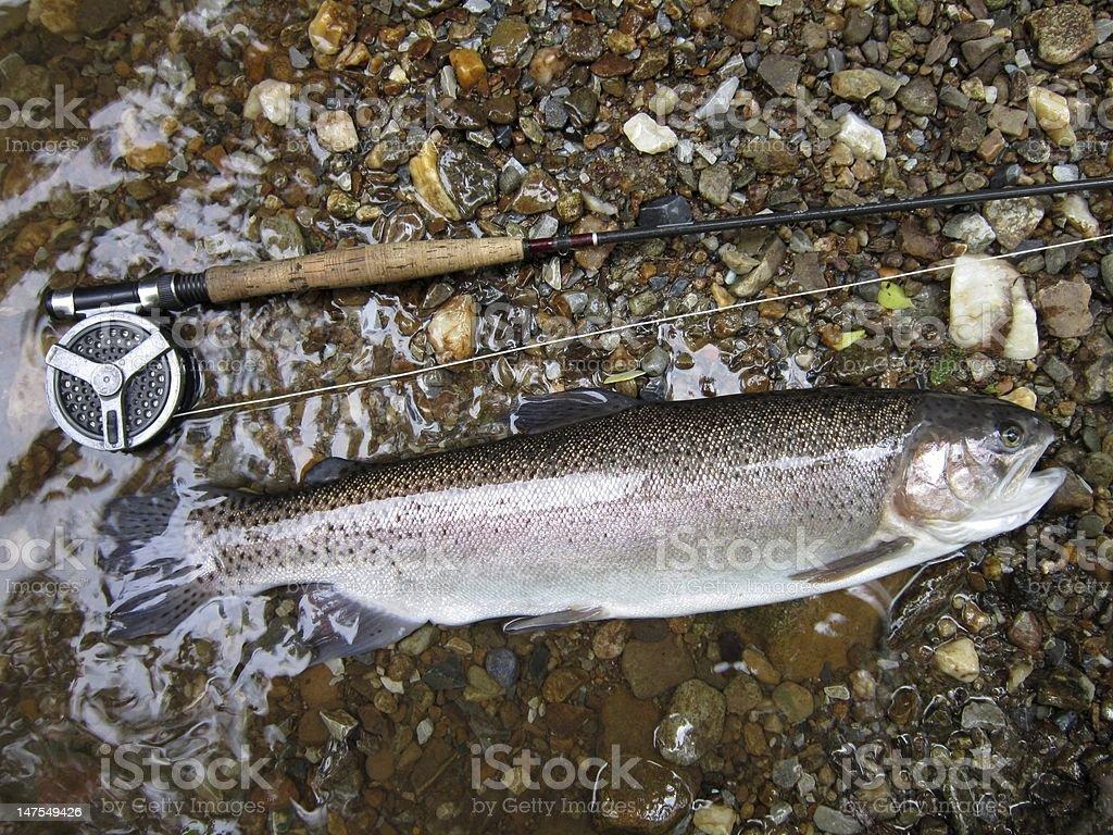 Big Rainbow Trout stock photo