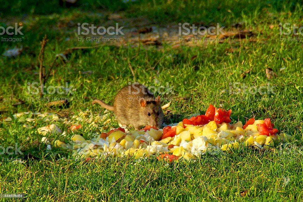 big rat eats abandoned waste stock photo