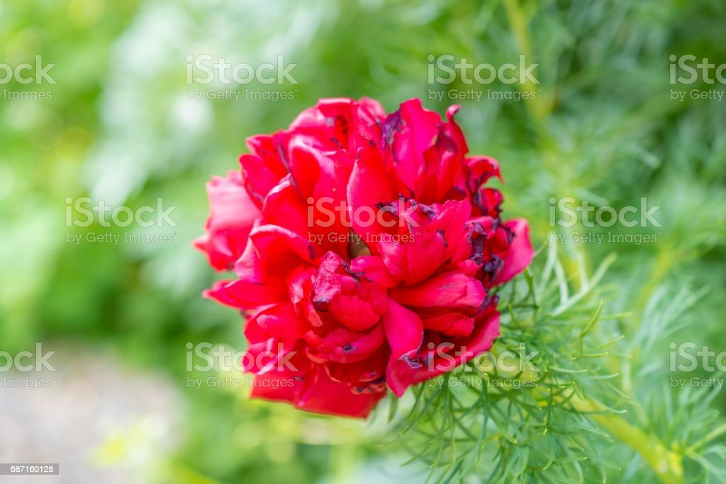 Big red flower on green blurred background stock photo