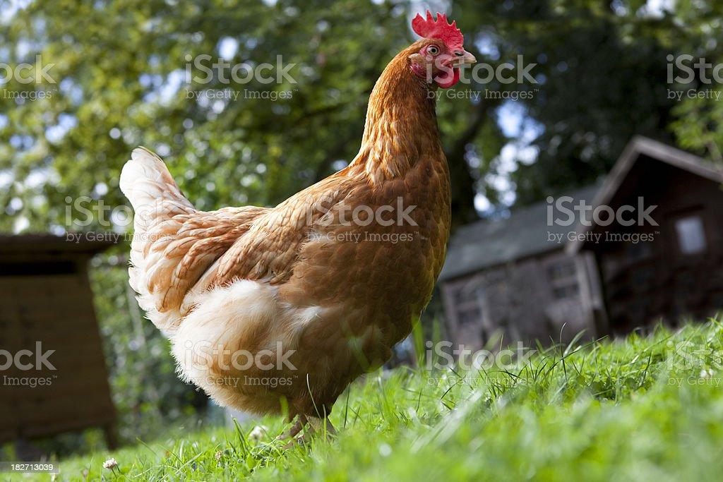 Big Red Free Range Hen in Beautiful Setting stock photo