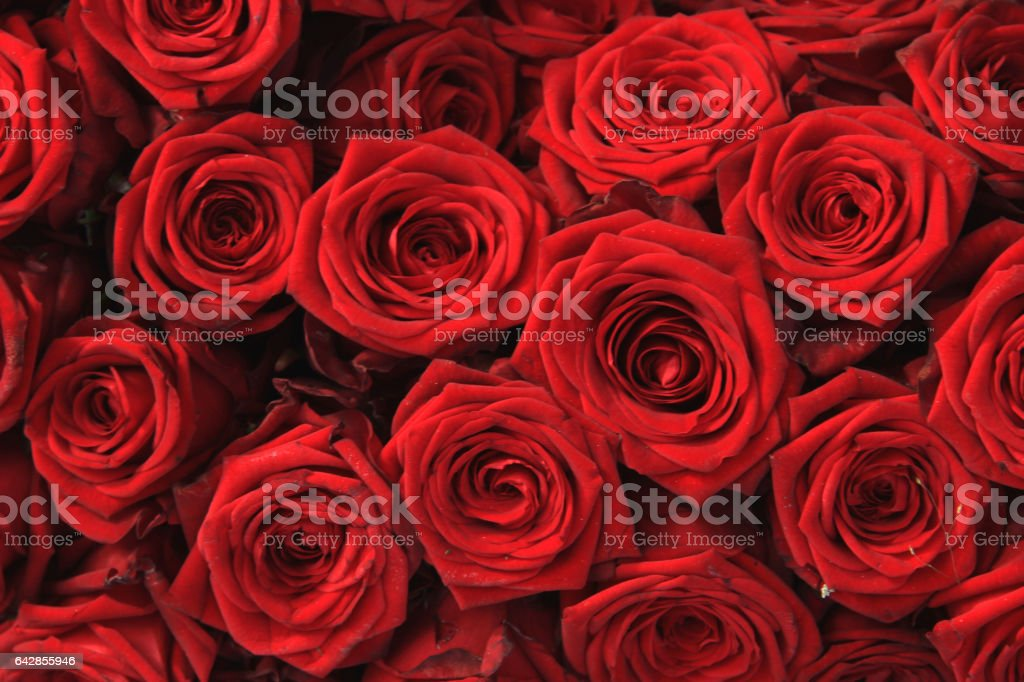 Big red roses stock photo