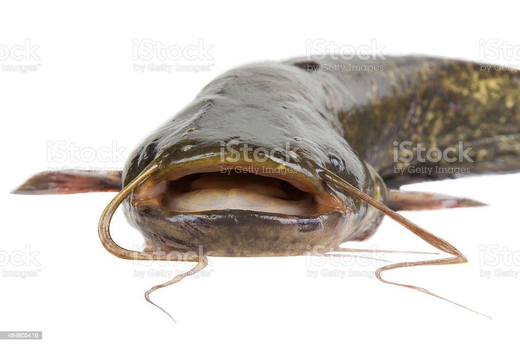 Big river catfish stock photo