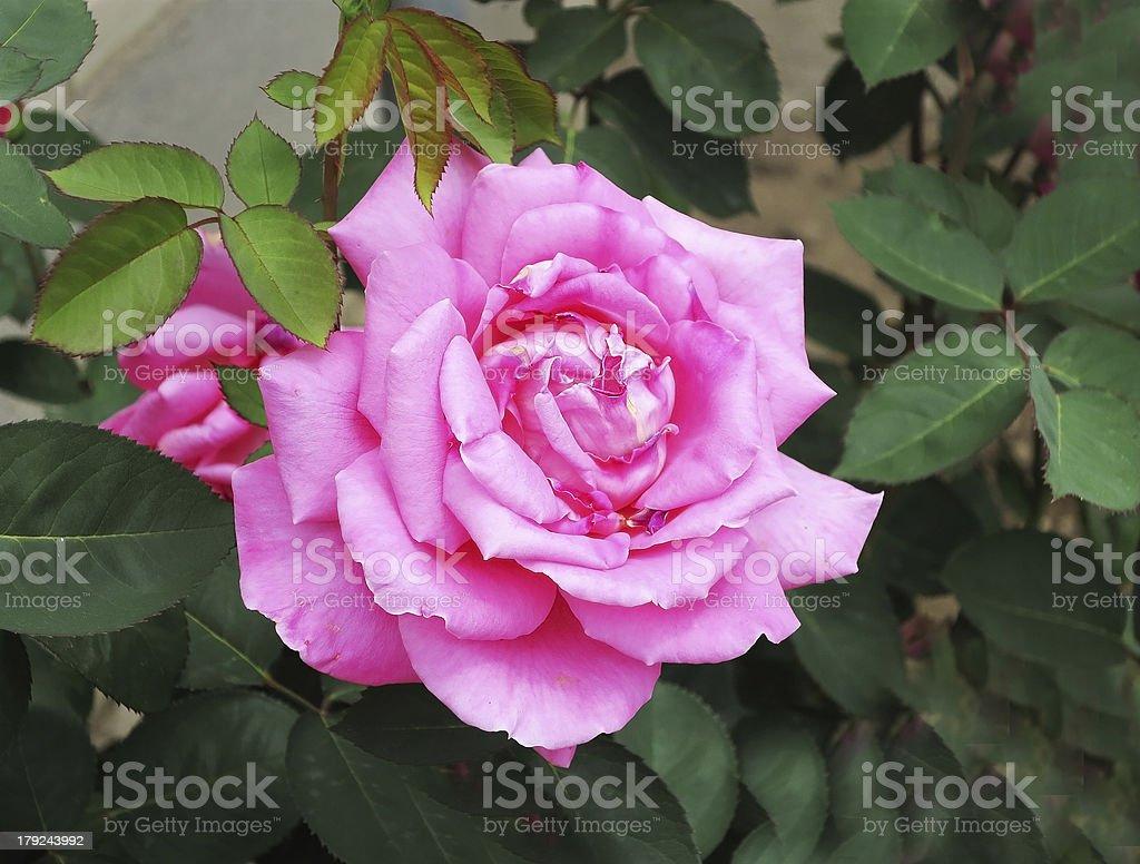 Big rose on green royalty-free stock photo