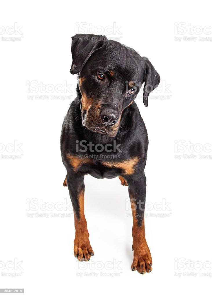 Big Rottweiler Dog Looking Down stock photo