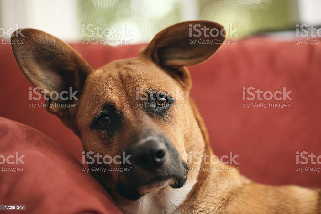 Big, Sad Dog royalty-free stock photo