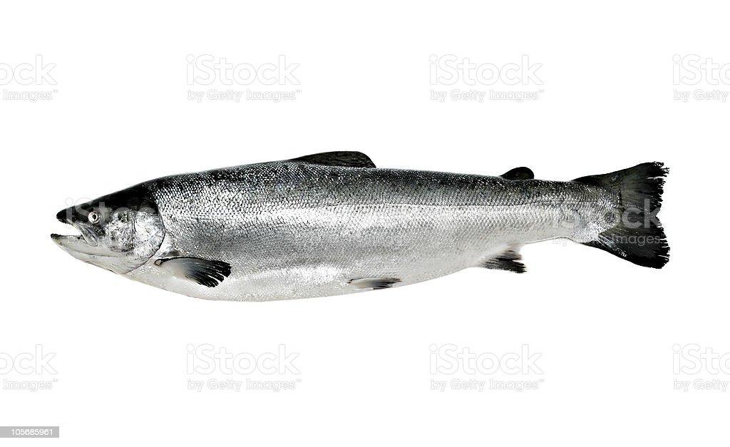 Big salmon fish isolated stock photo