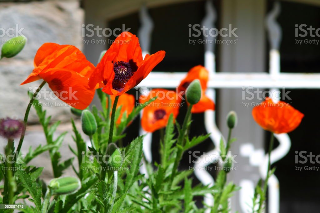 Big scarlett red poppy flowers on white metal fence background. stock photo