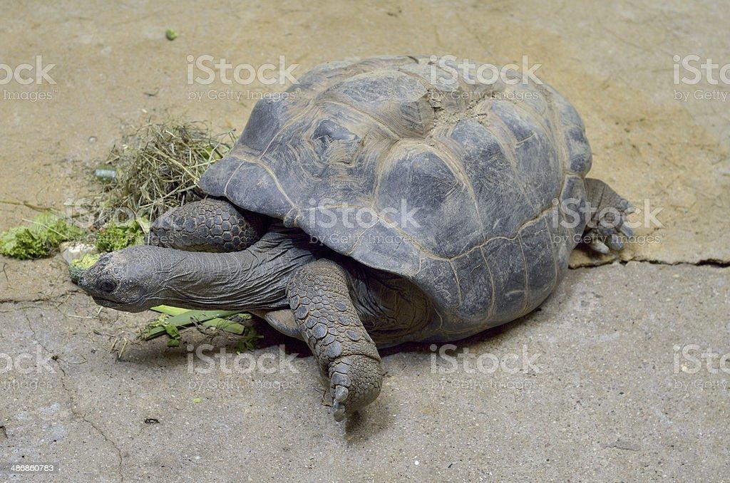 Big Seychelles turtle eat. royalty-free stock photo
