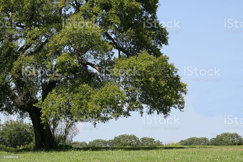 Big Shade Tree royalty-free stock photo