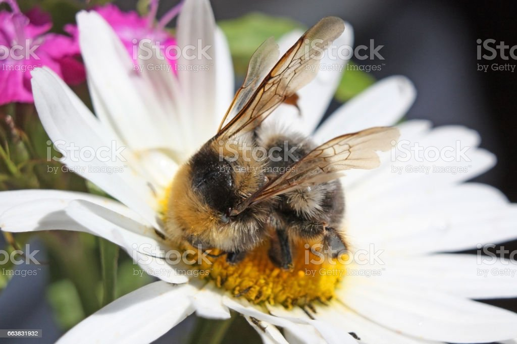 Big shaggy bumblebee the collecting nectar from camomile  – macro stock photo
