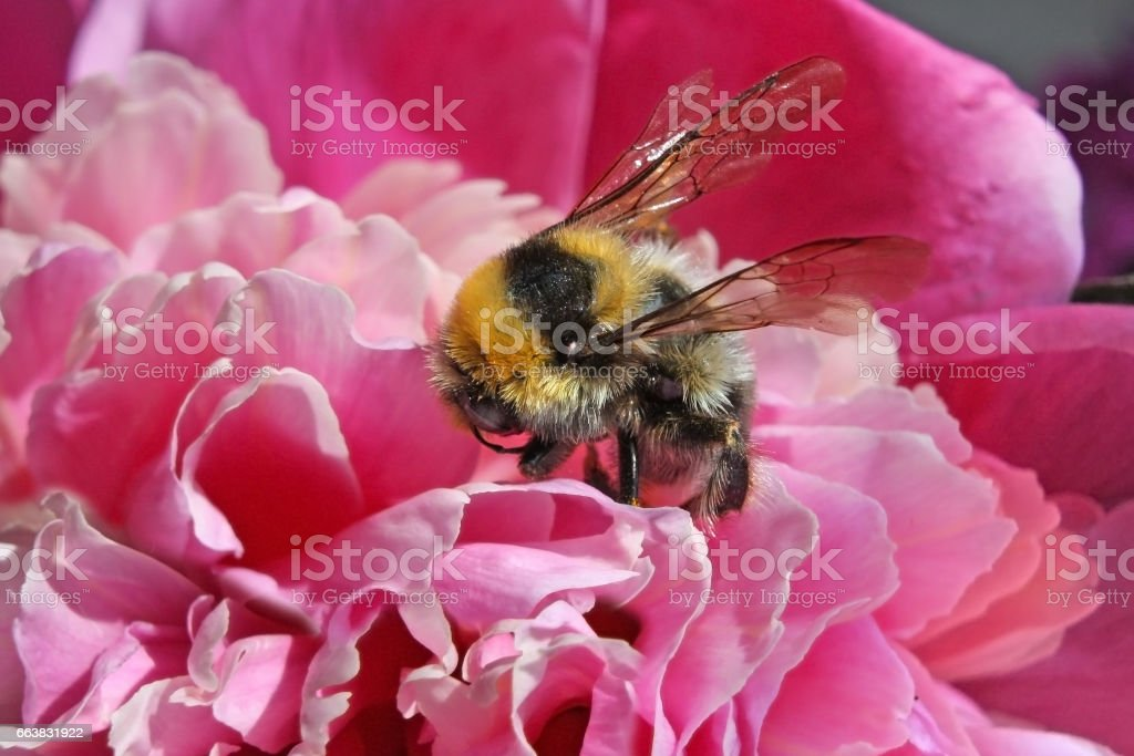 Big shaggy bumblebee the collecting nectar from peony – macro stock photo