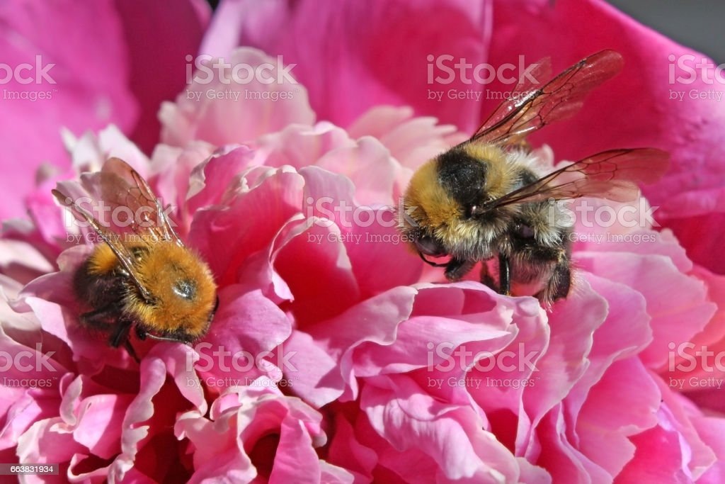 Big shaggy bumblebees the collecting nectar from peony – macro stock photo