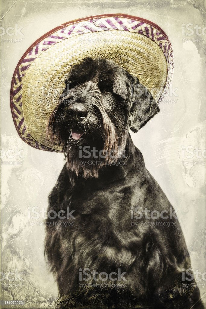 Big Shaggy Dog with Sombrero Hat stock photo