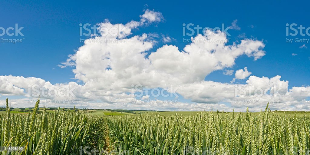 Big sky over organic green crop royalty-free stock photo