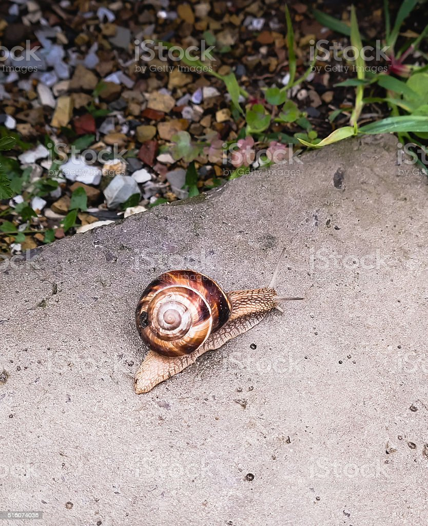 Big snail crawling on a stony surface stock photo