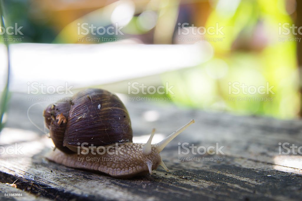 big snail on wooden table stock photo