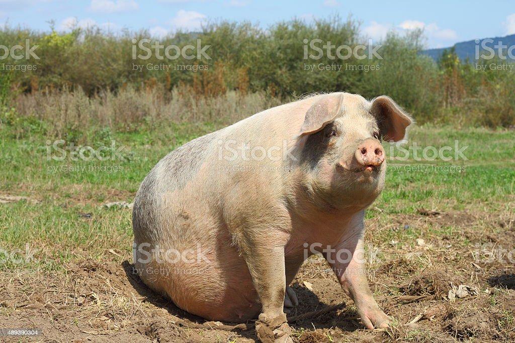 big sow stock photo