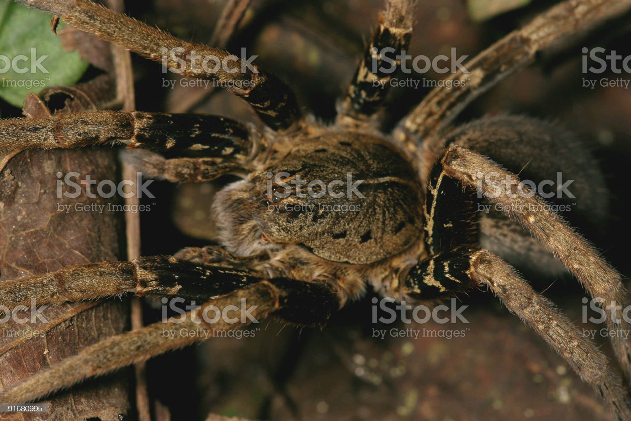 Big spider royalty-free stock photo