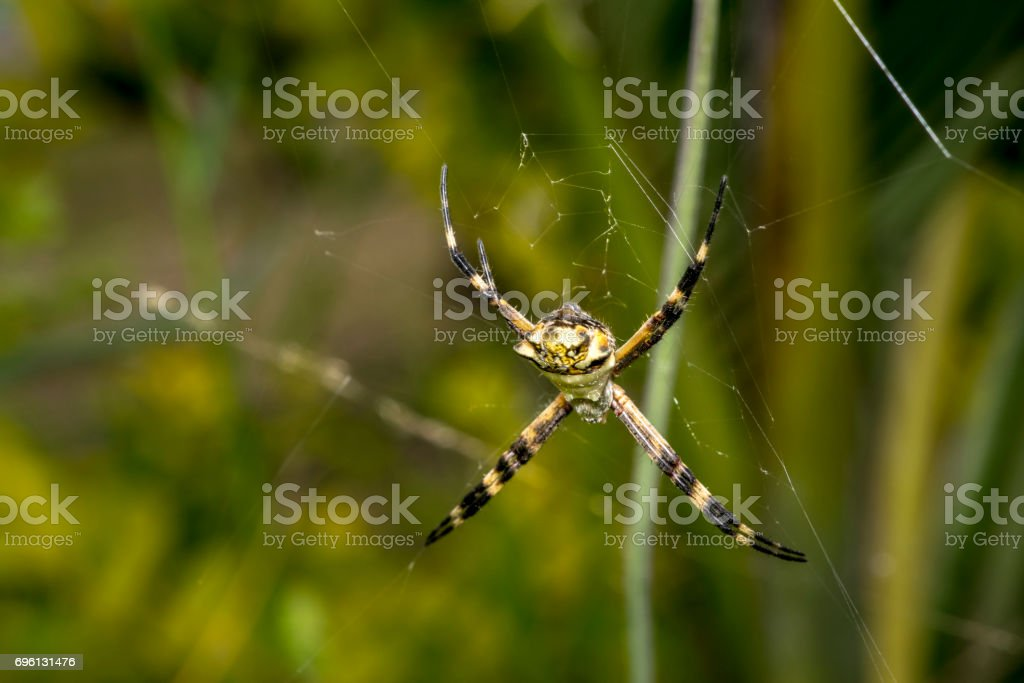 Big spider waiting for prey on its web stock photo