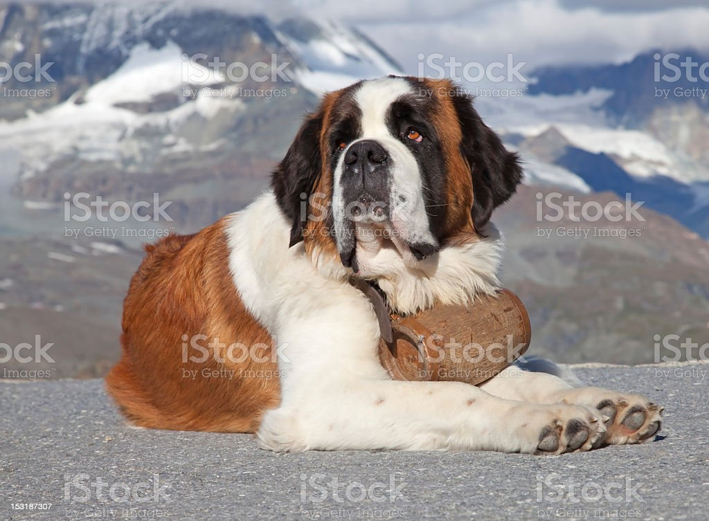 Big St. Bernard laying on the ground stock photo