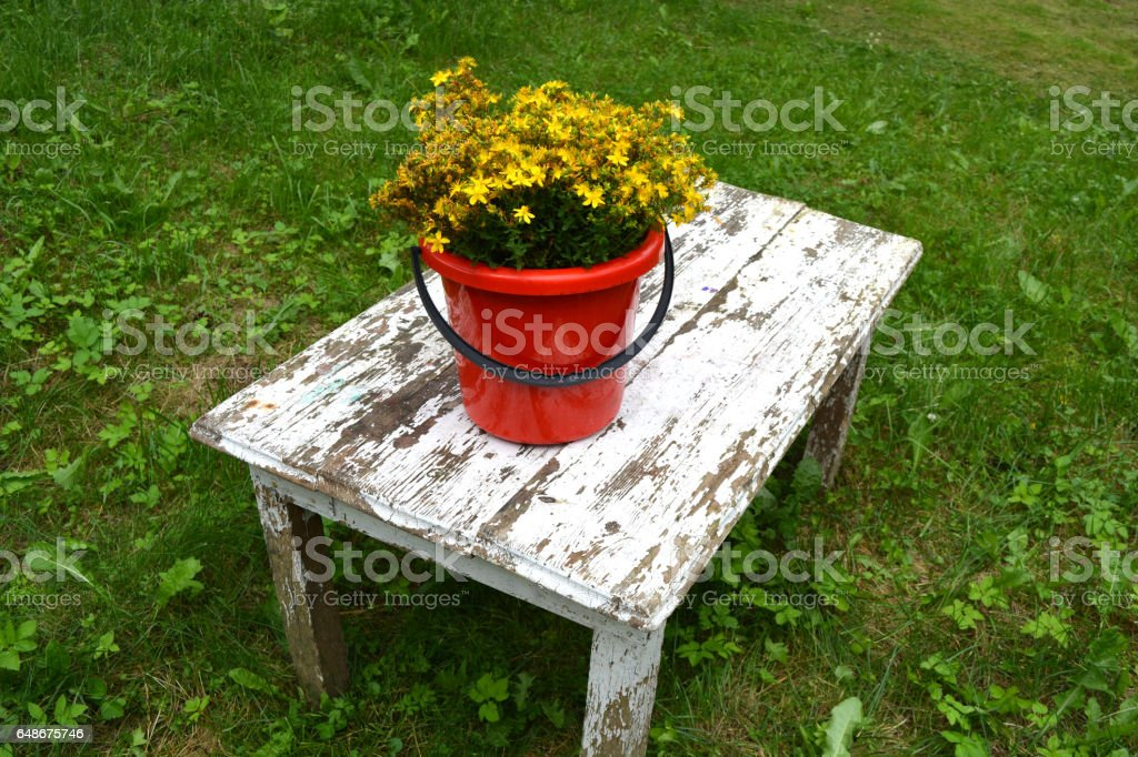 Big St Johns wort flowers bunch in red bucket on old  table stock photo