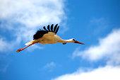 Big stork in flight closeup