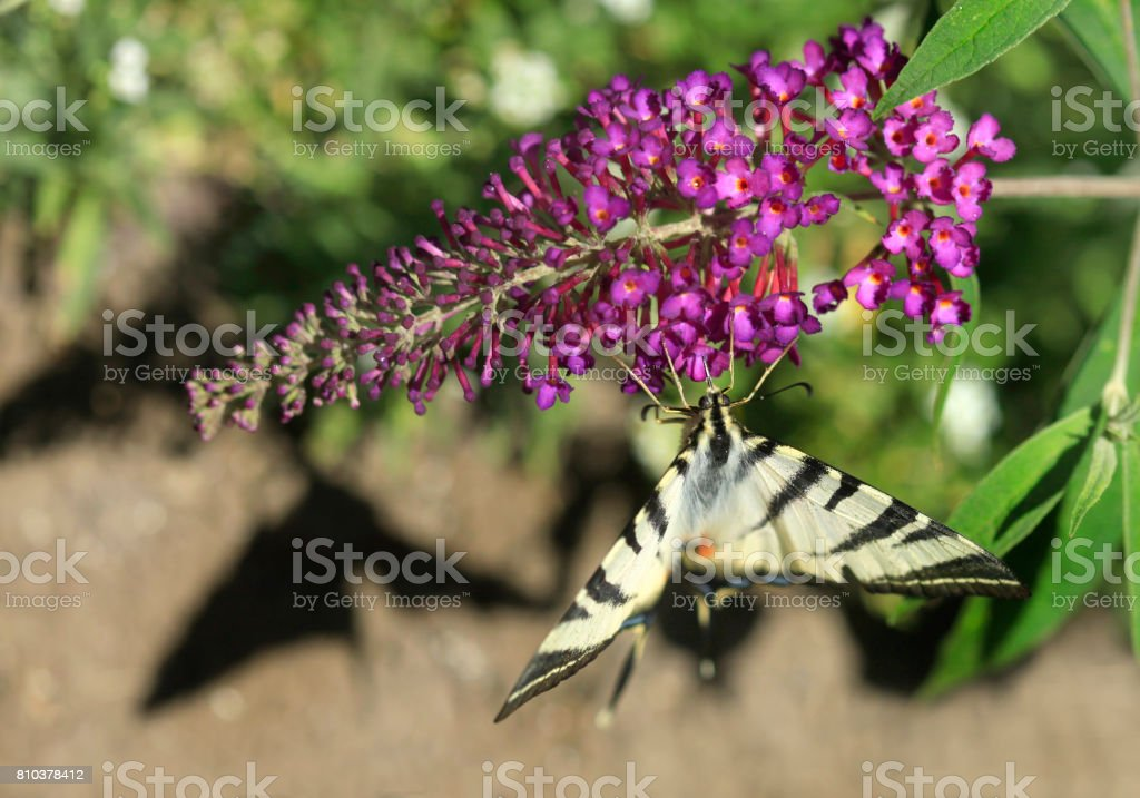 big striped butterfly stock photo