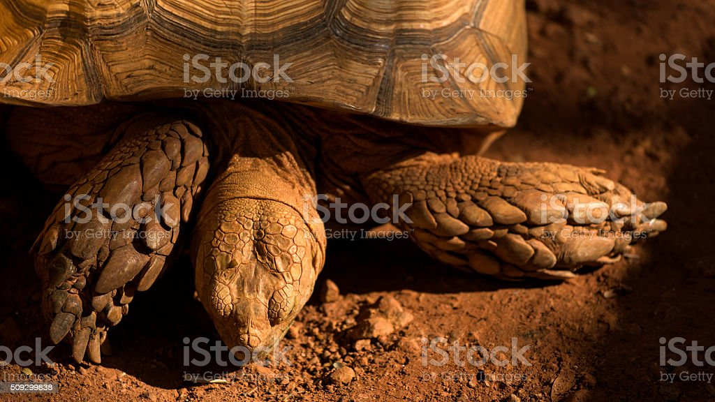 Big Sulcata tortoise on red dirt stock photo