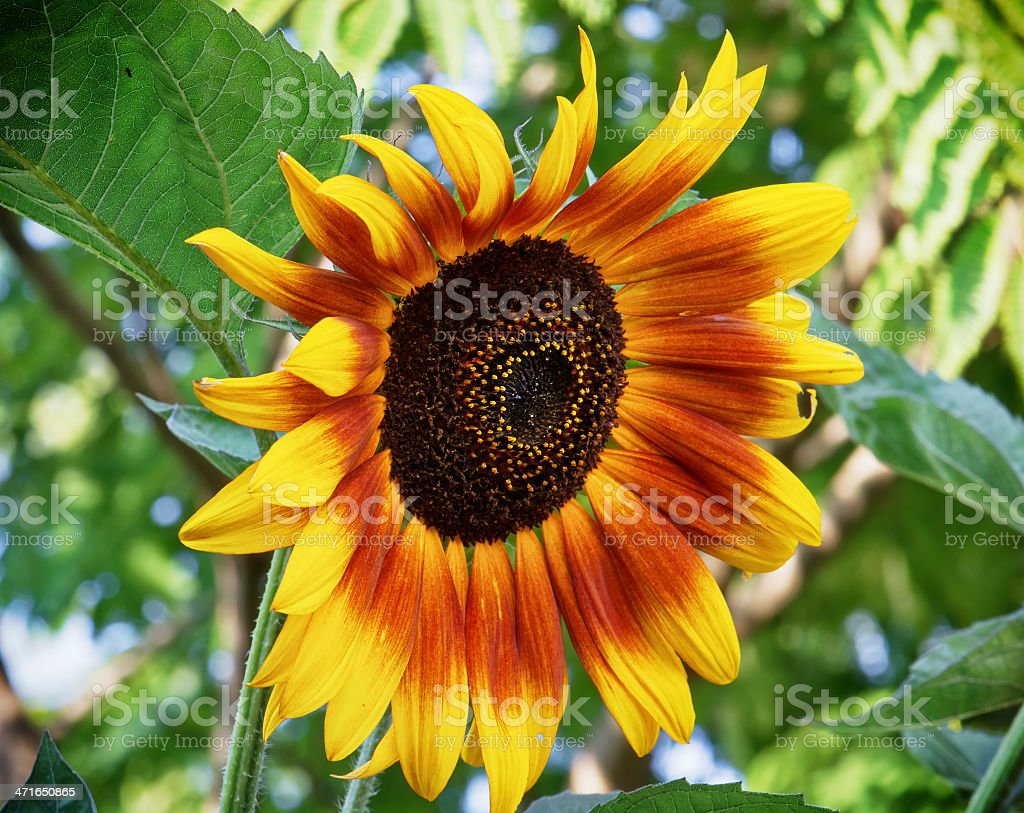 Big sunflower blooming in summer royalty-free stock photo
