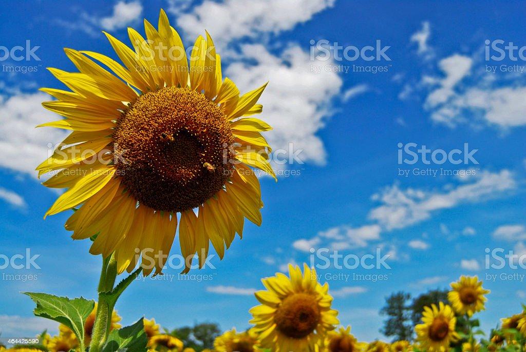Duży Słonecznik w ogrodzie i błękitne niebo, Tajlandia zbiór zdjęć royalty-free