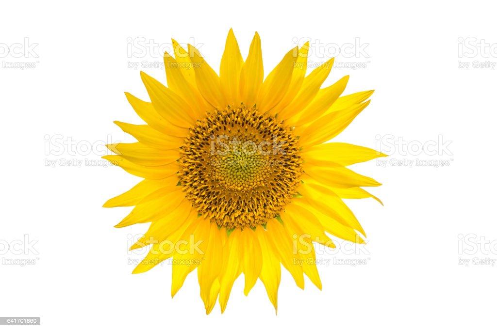 Big sunflower isolated on the white background stock photo