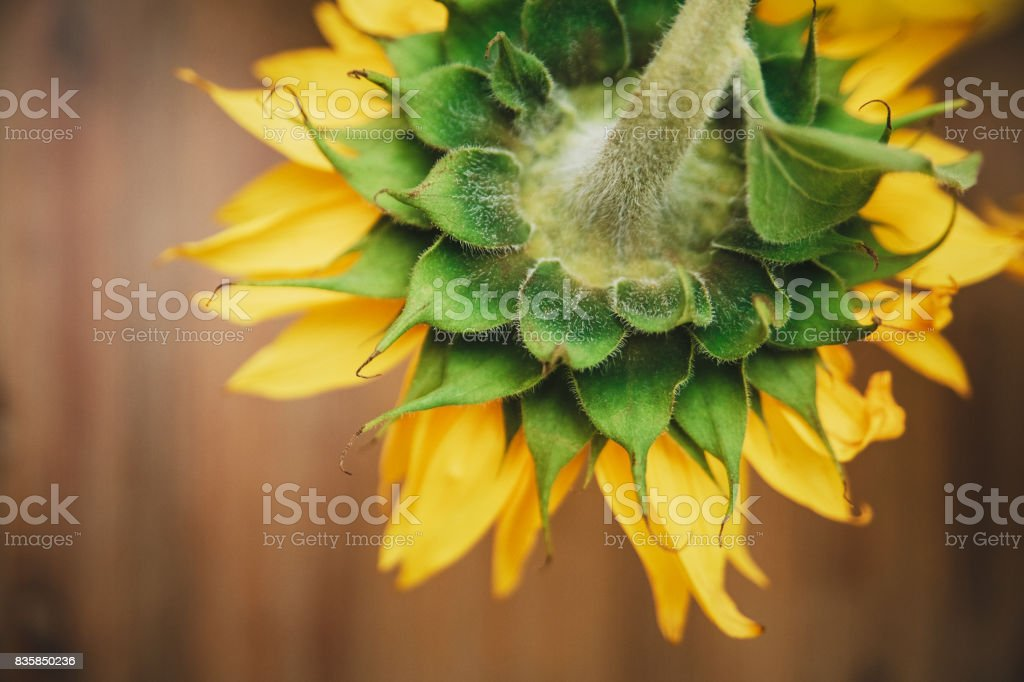 Big sunflower.Yellow and green colors.Macro.Nature.Wooden background.Top view.Croped. stock photo