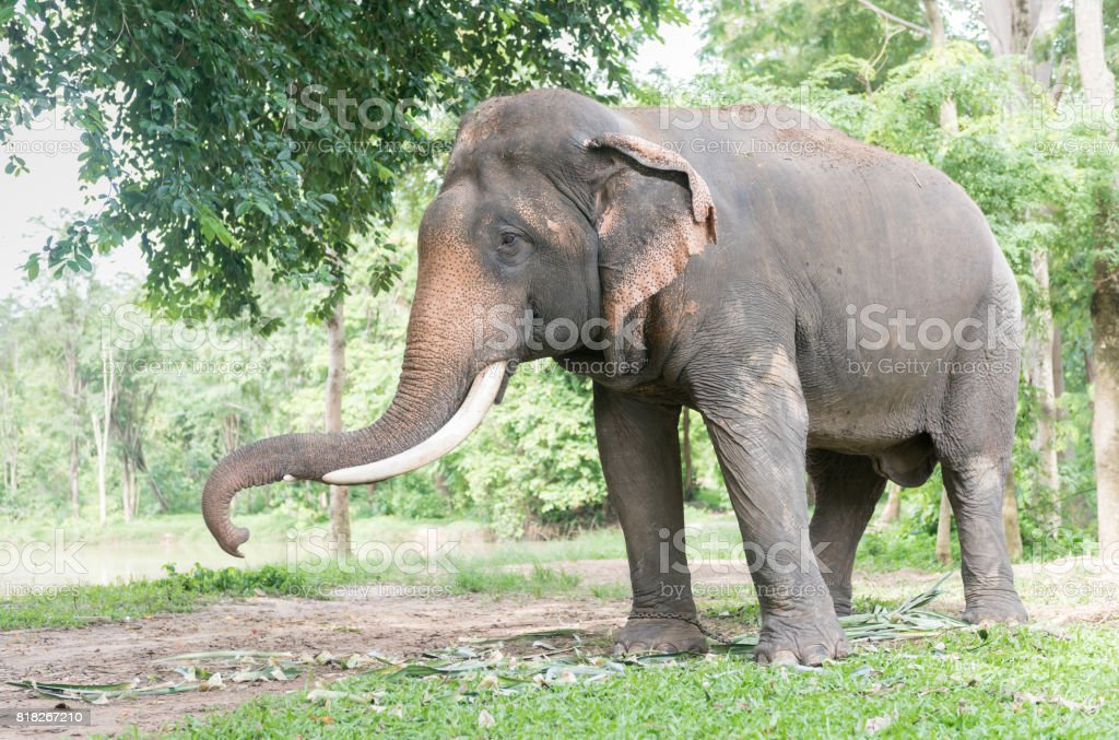 Big Thai elephant in forest,reserve animal stock photo