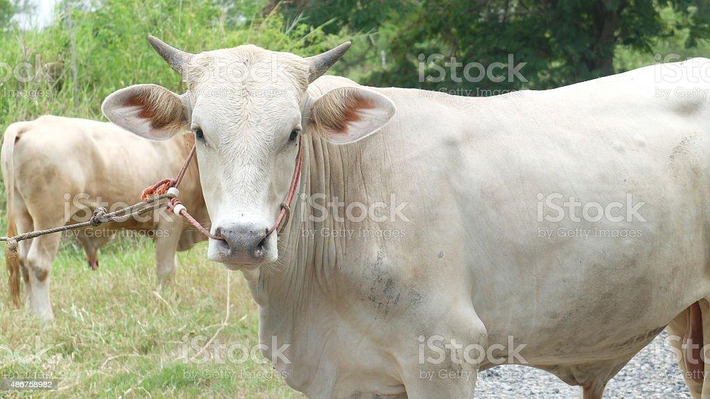 Big Thai White Ox Standing on Rural Road stock photo