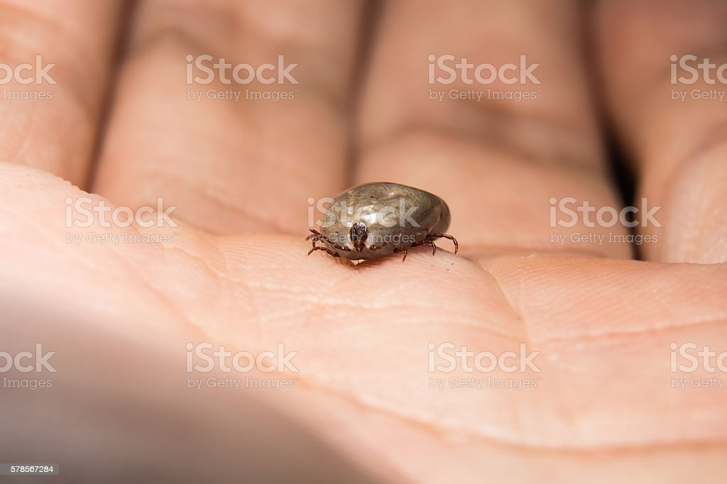 Big tick sucking blood is ready to breed.On hunam hand. stock photo