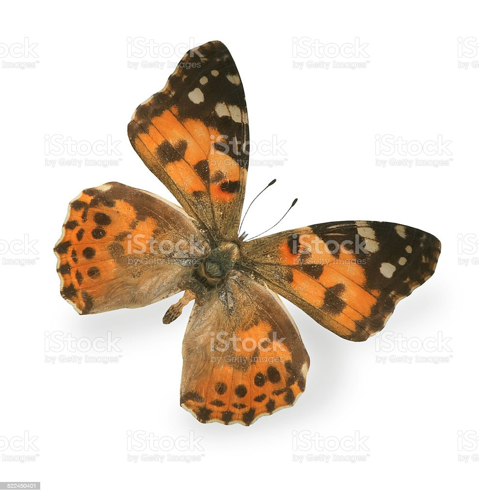 Big tiger butterfly isolated on white background stock photo